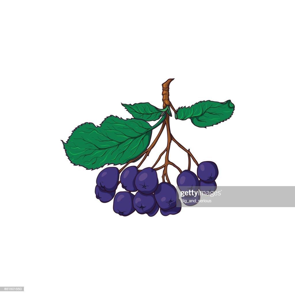 Hanging bunch of chokeberry, black rowan berries