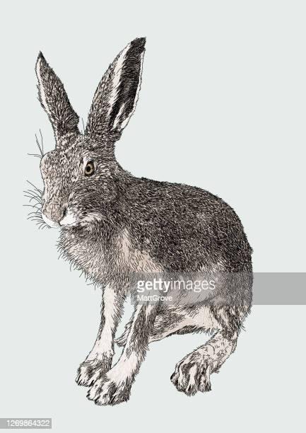 hare seated - mammal stock illustrations
