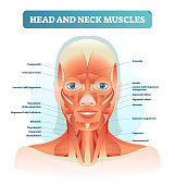 Head and neck muscles labeled anatomical diagram, facial vector illustration with female face, health care educational information poster.