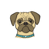 Head Dog pug with the collar, hand-painted portrait.