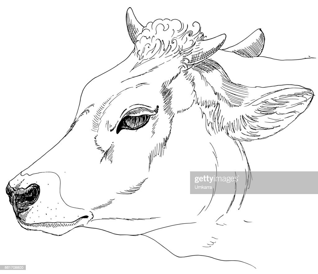 head of a cow. A sketch of the liner. Freehand drawing. Vector