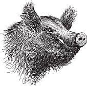 head of a wild boar