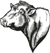 Head of bull of dangus breed drawn in vintage woodcut style. Farm animal isolated on white background. Vector illustration for agricultural market identity, products logo, advertisement