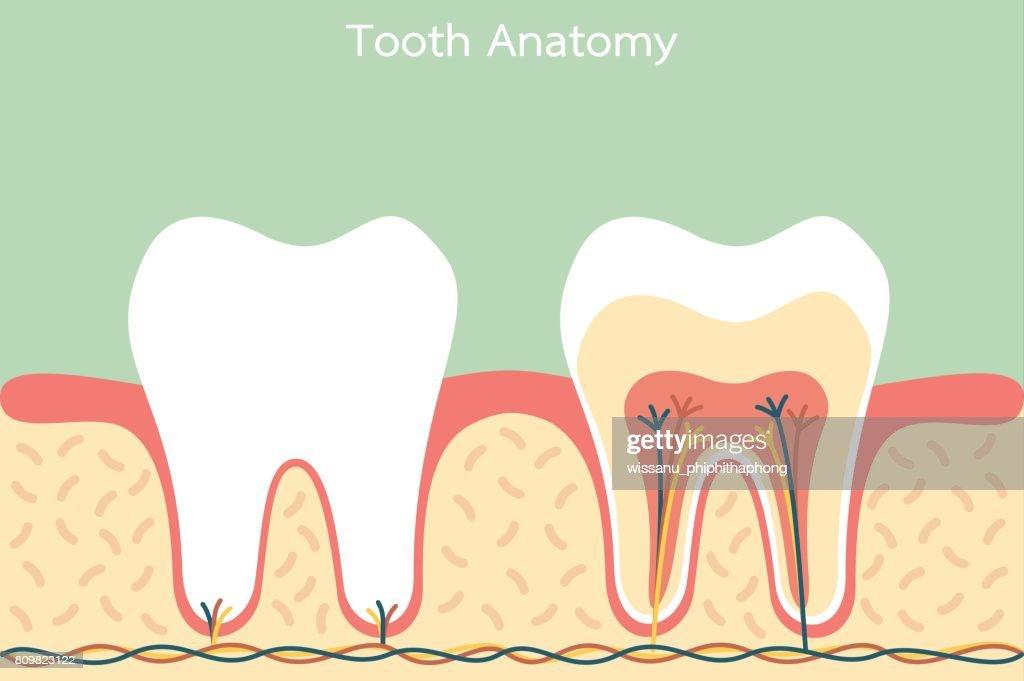 Gesunde Zahn Anatomie Vektorgrafik | Getty Images
