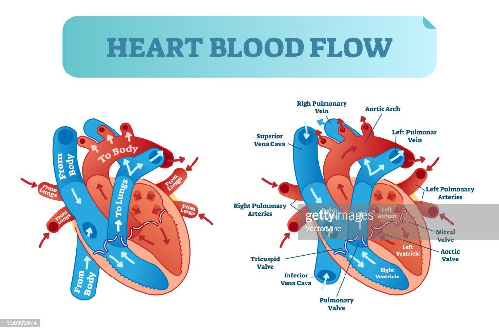 Heart blood flow circulation anatomical diagram with atrium and ventricle system. Vector illustration labeled medical poster.