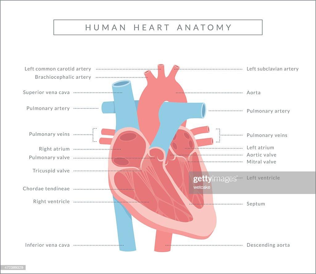 Heart diagram vector art getty images heart diagram vector art pooptronica Image collections