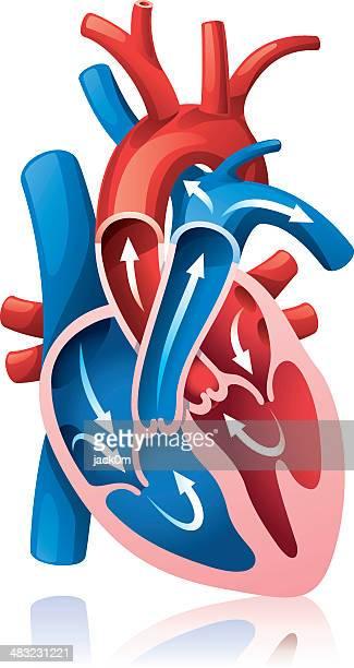 ilustraciones, imágenes clip art, dibujos animados e iconos de stock de corazón la sección - parte del cuerpo animal
