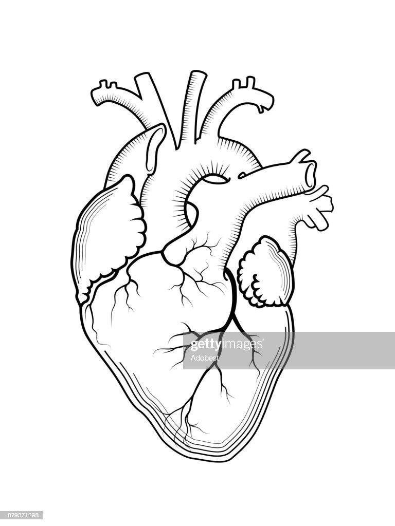 Herz Das Interne Organ Des Menschen Anatomische Struktur Gravierte ...
