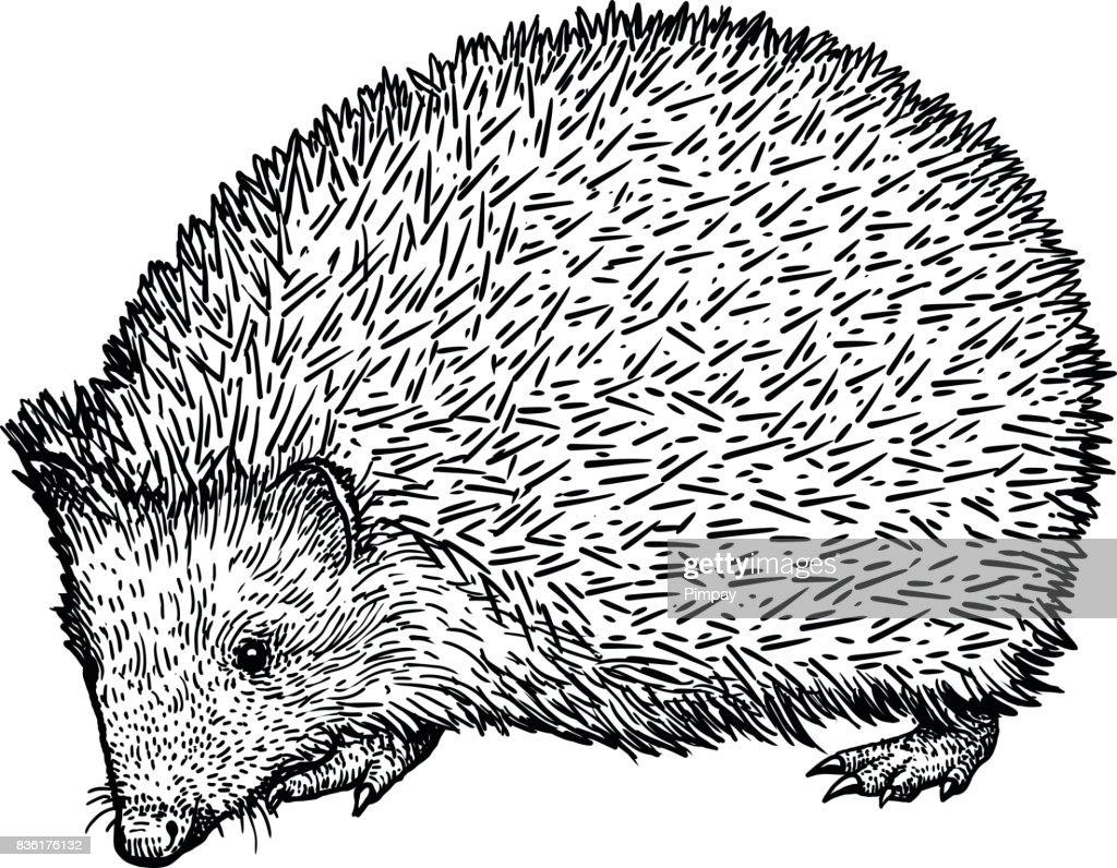 Line Drawing Hedgehog : Hedgehog illustration drawing engraving ink line art