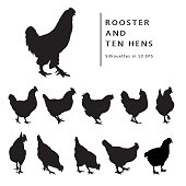 Hens And Rooster.