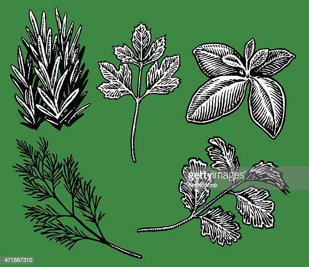 herbs, spices, parsley, dill, basil, cilantro, rosemary - basil stock illustrations, clip art, cartoons, & icons