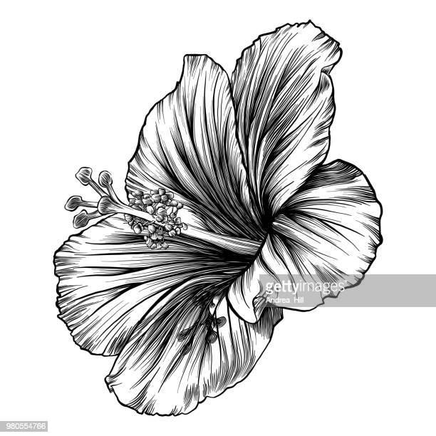 hibiscus flower pen and ink vector drawing - pen and ink stock illustrations