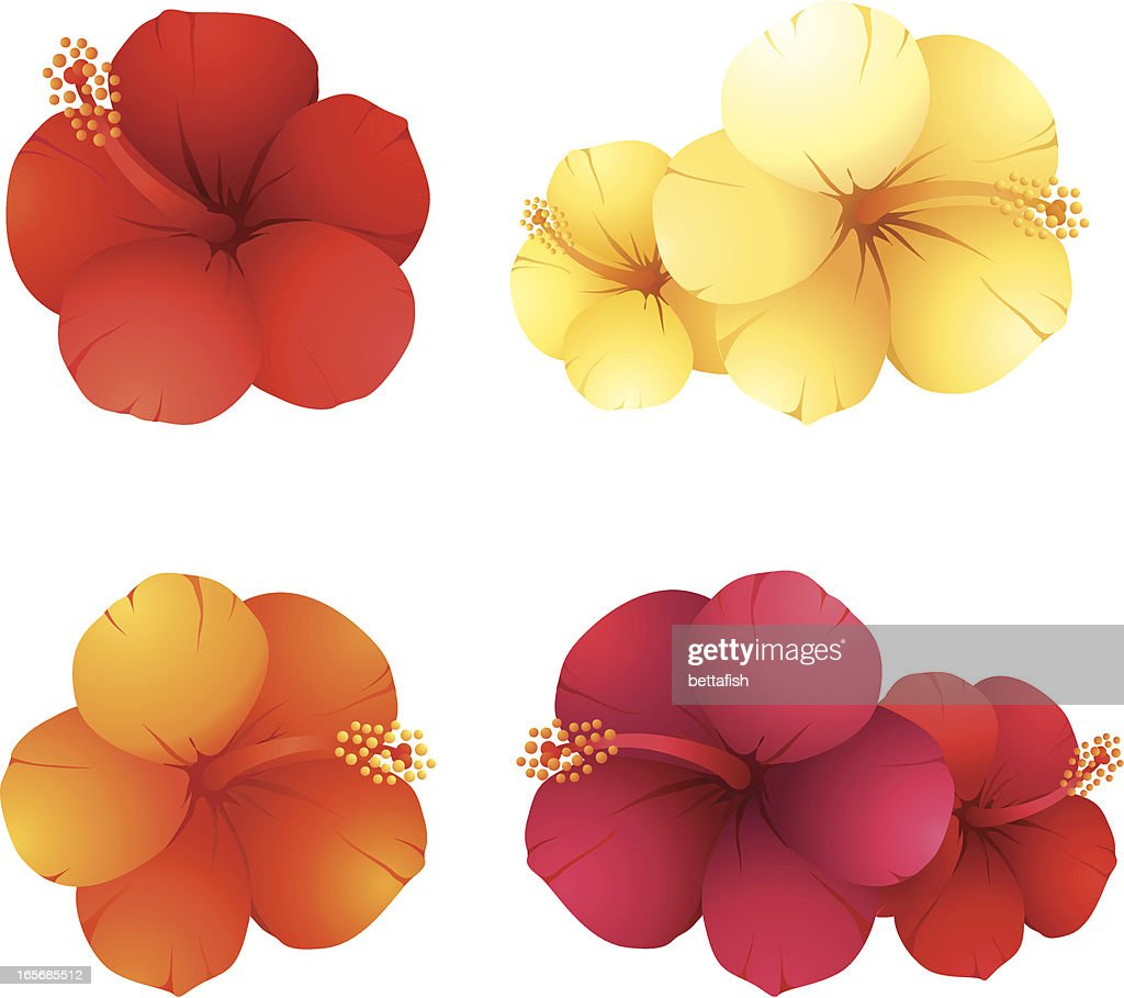 Hibiscus Flowers Vector Art Getty Images