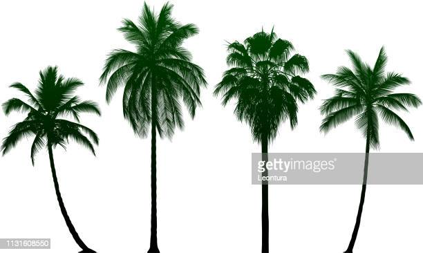 highly detailed palm tree - palm tree stock illustrations