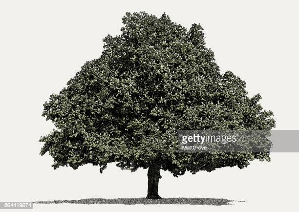 illustrations, cliparts, dessins animés et icônes de marronnier arbre - châtaigne