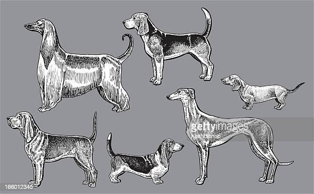 hound dogs- dachshund, blood, greyhound, basset, afghan, beagle - basset hound stock illustrations