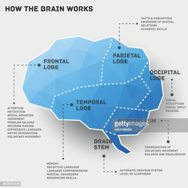 how the brain works infographic design - temporal lobe stock illustrations, clip art, cartoons, & icons