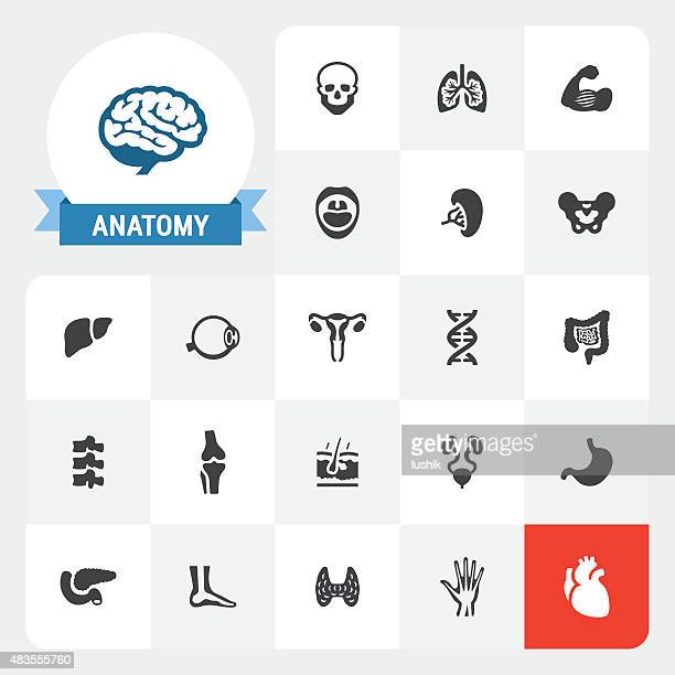 Human Anatomy base vector icons and label