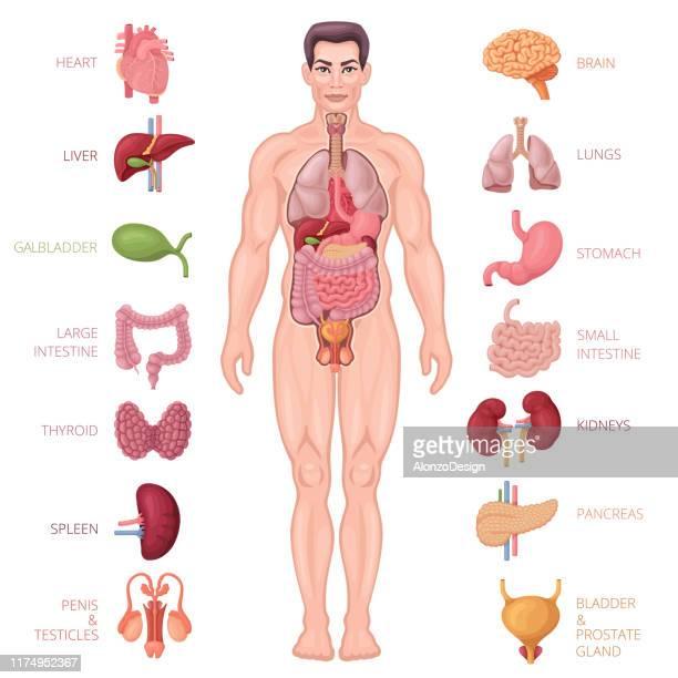 illustrations, cliparts, dessins animés et icônes de icônes d'anatomie humaine. corps masculin. - corps humain
