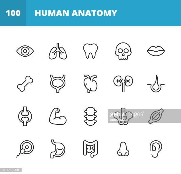 人間の解剖学のラインアイコン。編集可能なストローク。ピクセルパーフェクト。モバイルとウェブ用。人間の解剖学、人間の頭、人間の手、肝臓、肺、心臓、消化器系、耳、鼻、口、頭蓋� - human digestive system点のイラスト素材/クリップアート素材/マンガ素材/アイコン素材