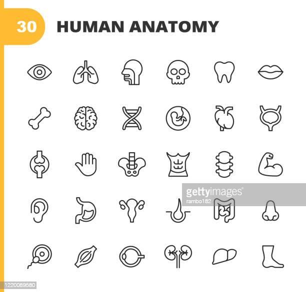 人間の解剖学のラインアイコン。編集可能なストローク。ピクセルパーフェクト。モバイルとウェブ用。人間の解剖学、人間の頭、人間の手、肝臓、肺、心臓、消化器系、耳、目、鼻、口、� - human digestive system点のイラスト素材/クリップアート素材/マンガ素材/アイコン素材