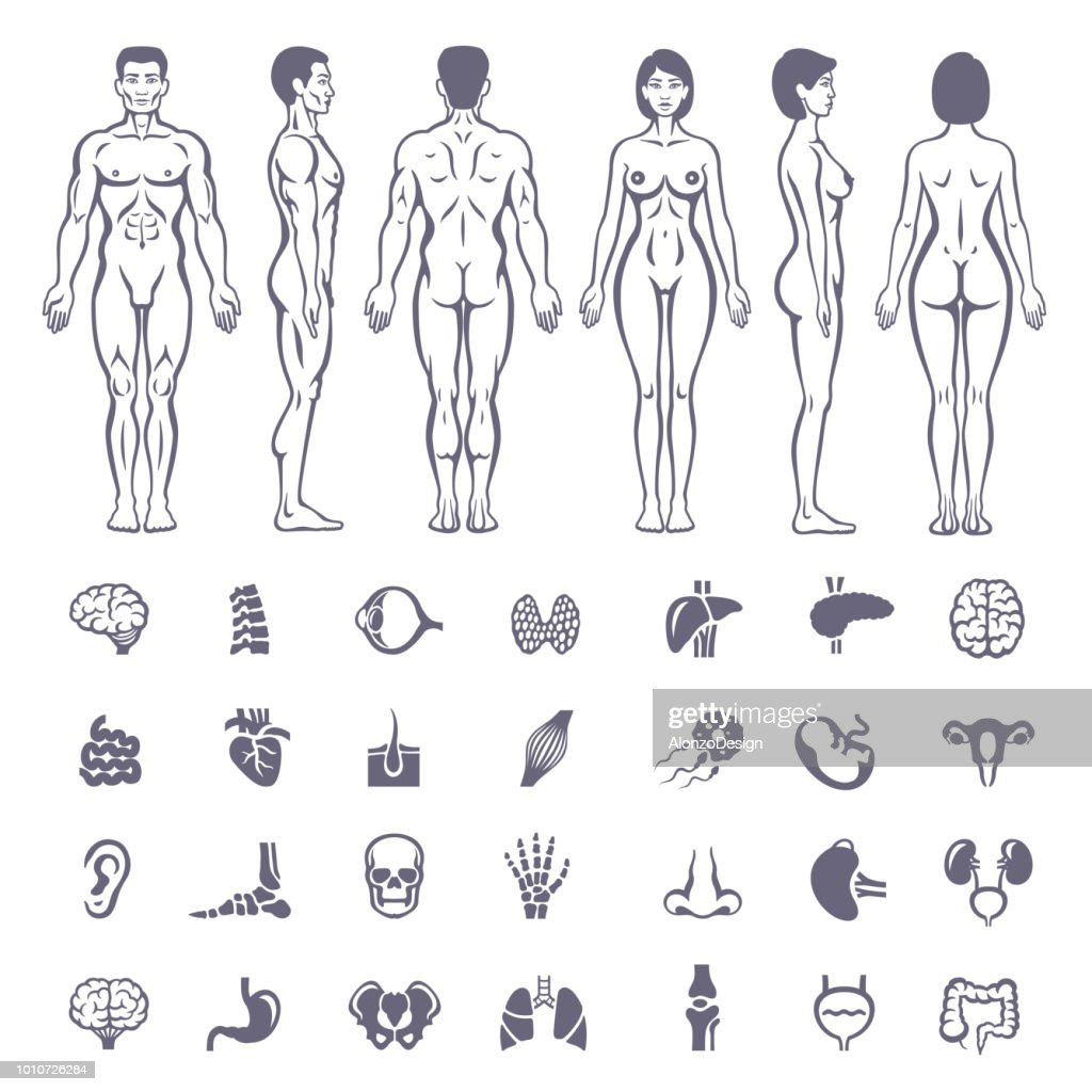 Human Anatomy Male And Female Body Shapes Vector Art Getty Images