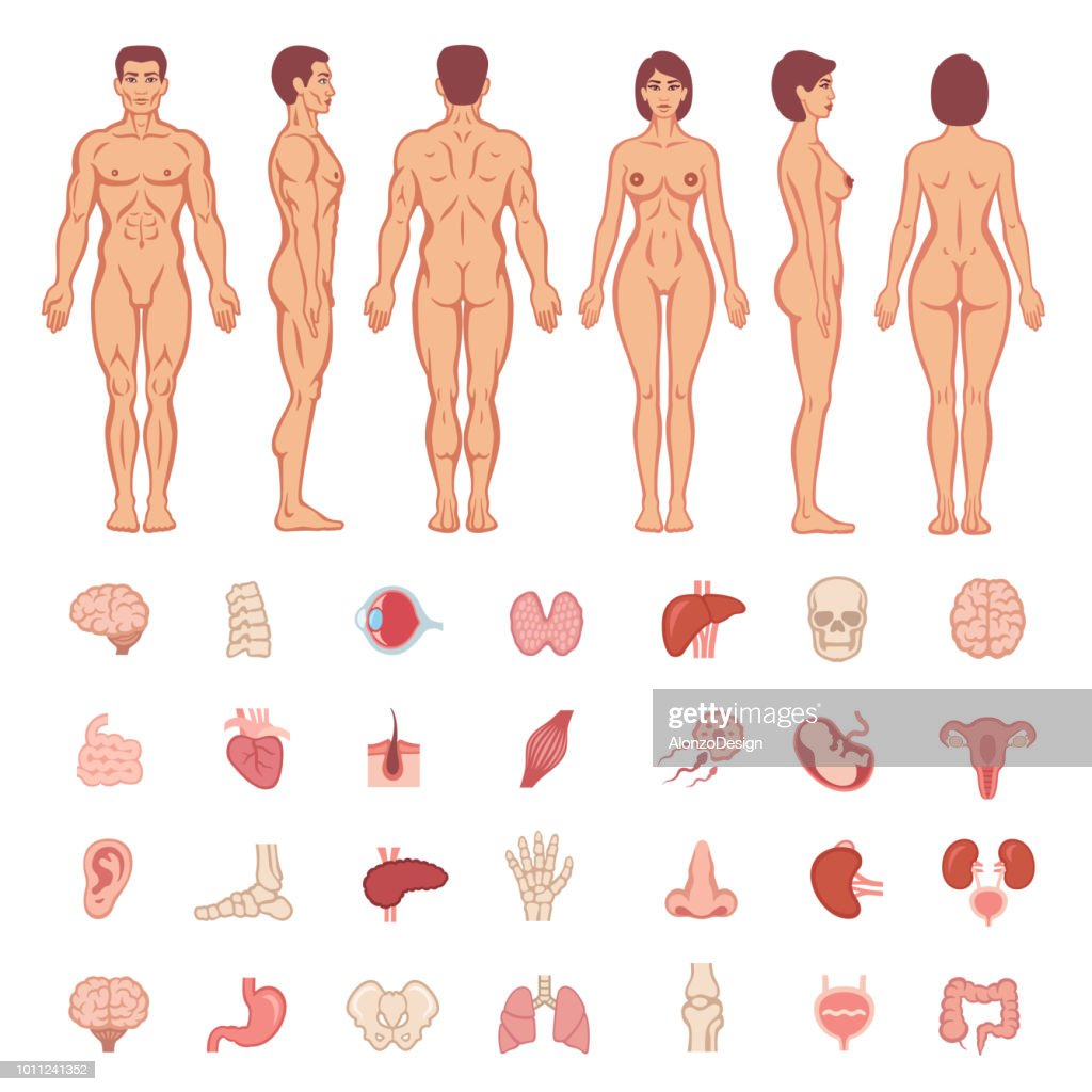 Human Anatomy Male And Female Body Shapes Vector Art | Getty Images