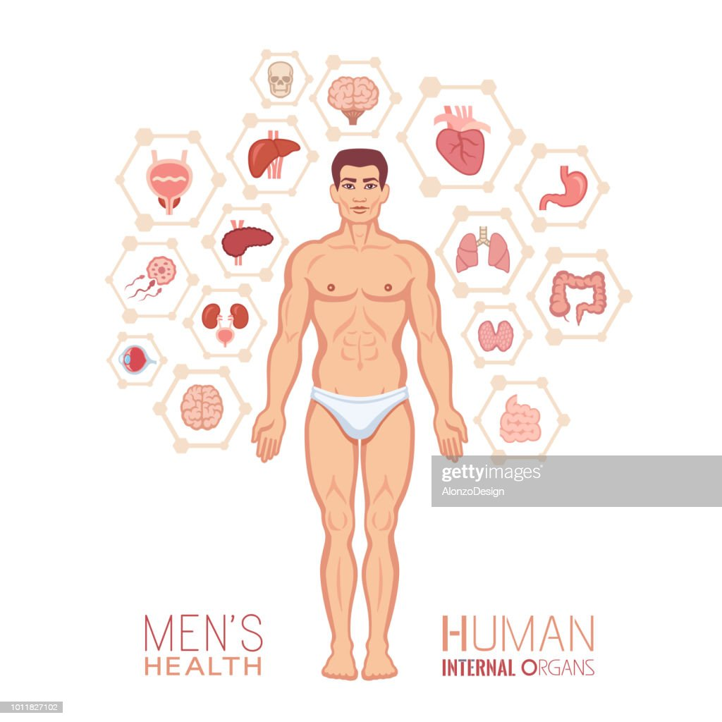 Human Anatomy Male Body With Internal Organs Vector Art Getty Images