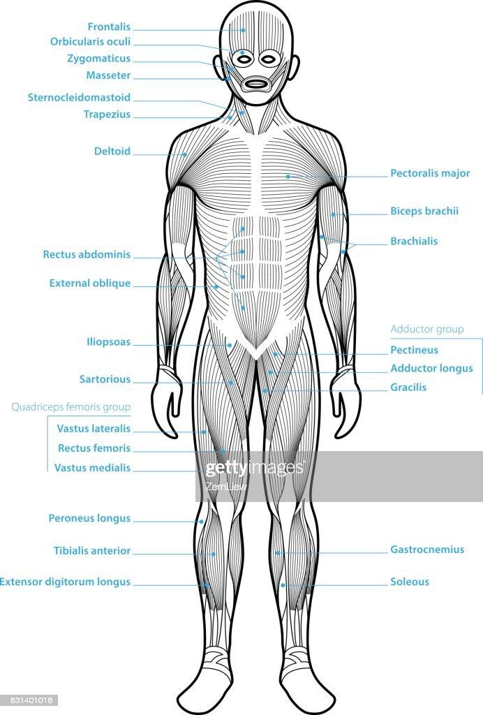 Menschliche Anatomie Muskelgruppen Vektorgrafik   Getty Images