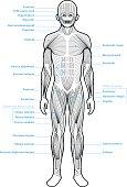 Human Anatomy Muscle Groups