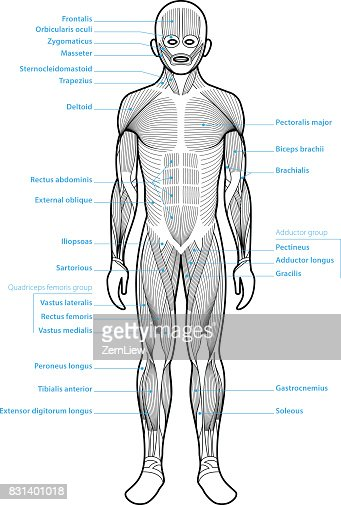 Human Anatomy Muscle Groups Vector Art Getty Images