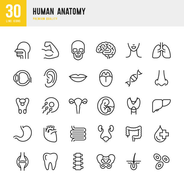 human anatomy - set of line vector icons - lips stock illustrations