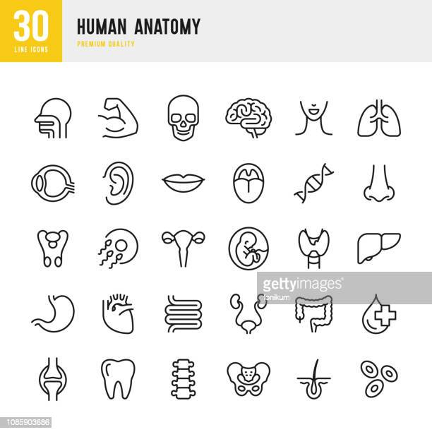 human anatomy - set of line vector icons - brain stock illustrations