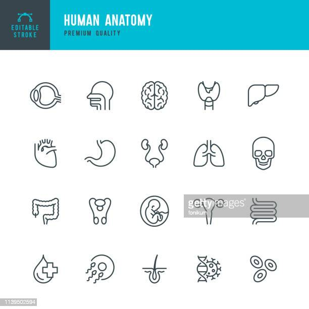 human anatomy - set of line vector icons - intestine stock illustrations