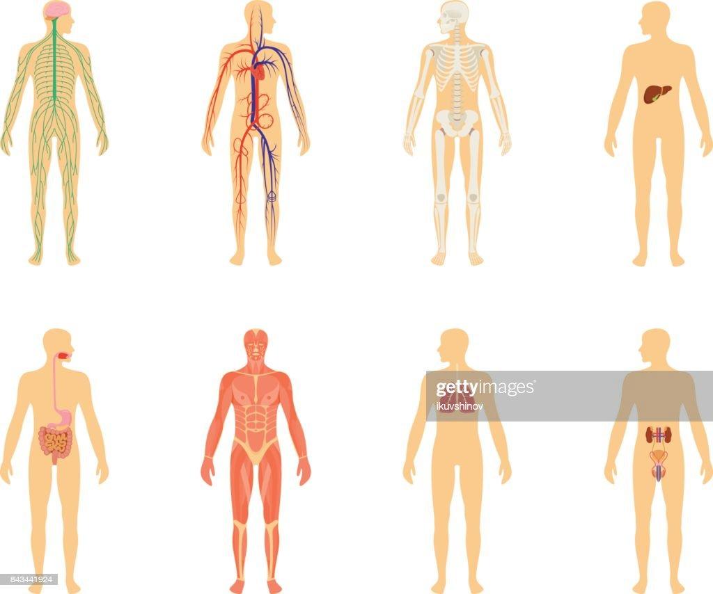 Anatomie Des Menschen Satz Von Vektorillustration Isoliert Auf ...