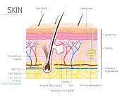 Human Anatomy, Skin And Hair Diagram