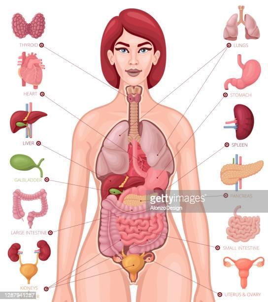 human anatomy vector. female body and organs diagram. - human gland stock illustrations