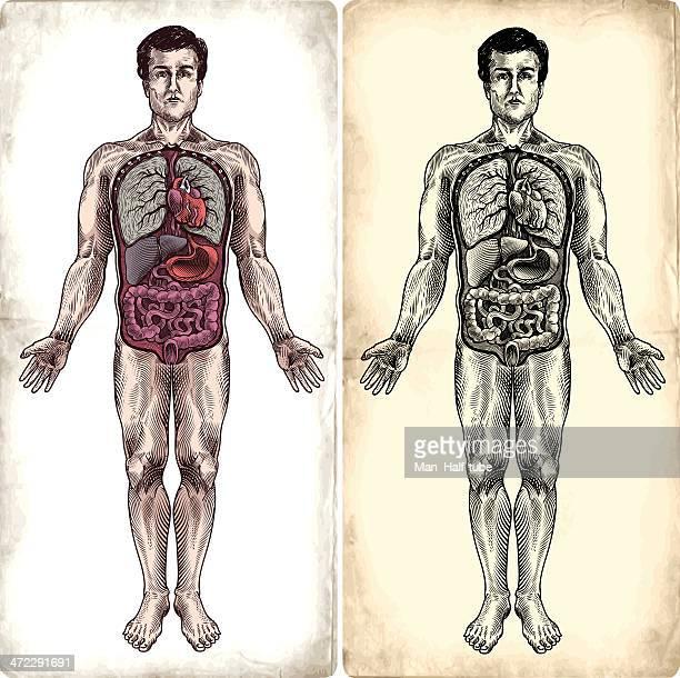 menschliche anatomie - menschliches körperteil stock-grafiken, -clipart, -cartoons und -symbole