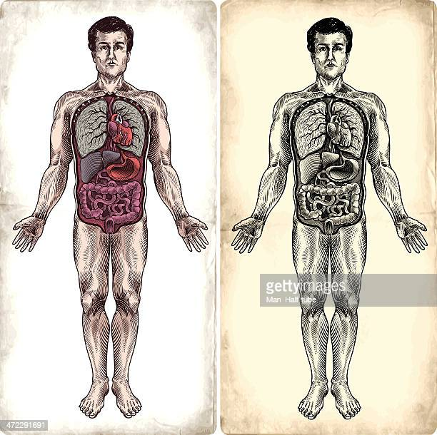 human anatomy - human lung stock illustrations, clip art, cartoons, & icons