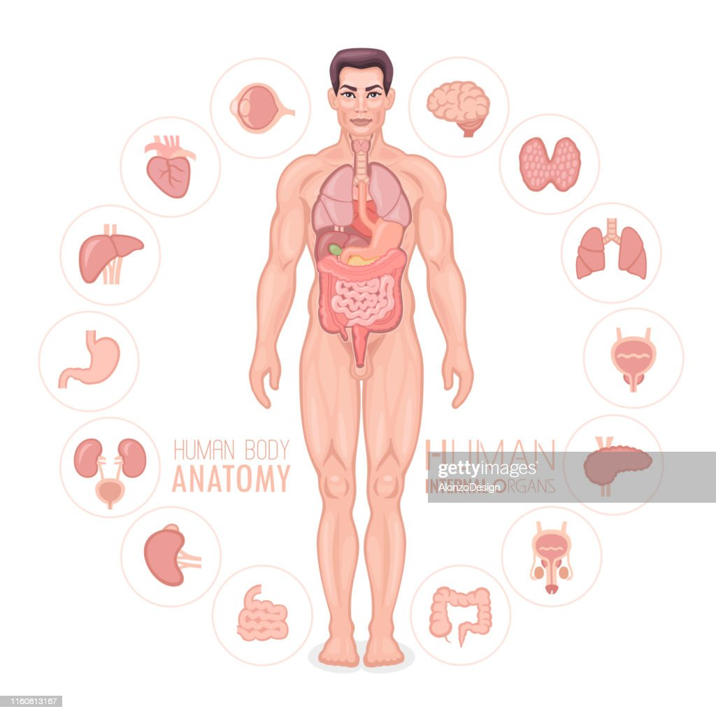 human anatomy vector male body high res vector graphic getty images human anatomy vector male body high res vector graphic getty images