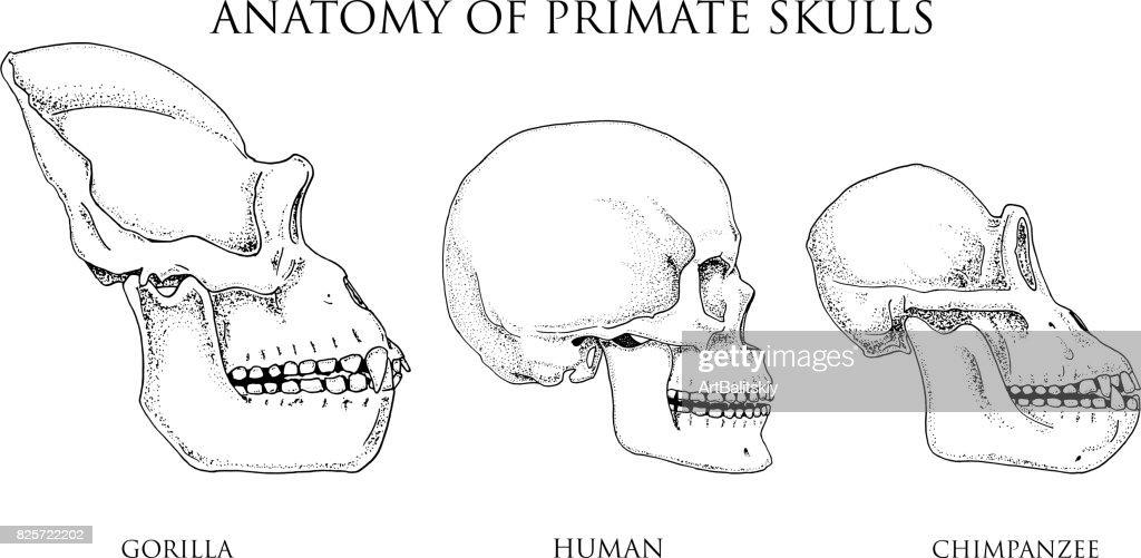 Mensch Und Schimpanse Gorilla Biologie Und Anatomieillustration ...