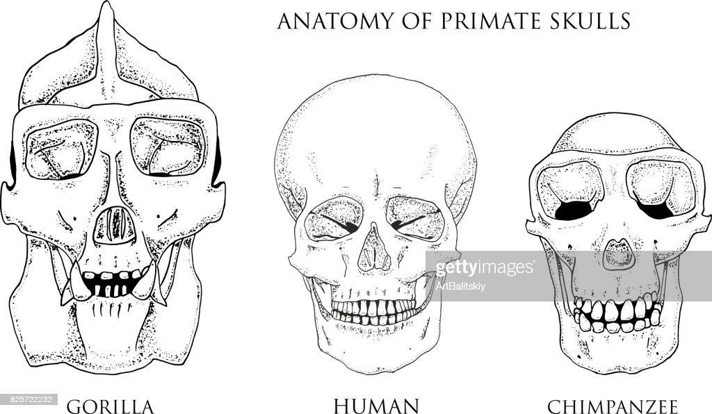 Human And Chimpanzee Gorilla Biology And Anatomy Illustration ...