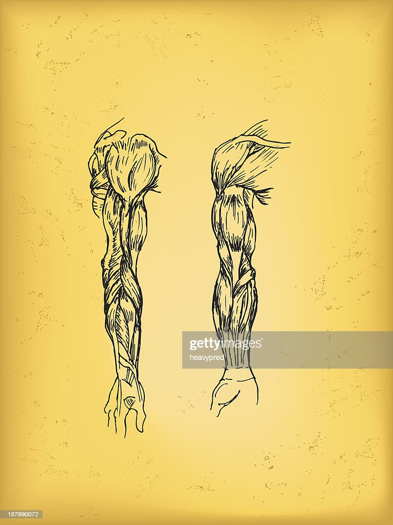 Human Arm Anatomy Drawing Vector Art | Getty Images