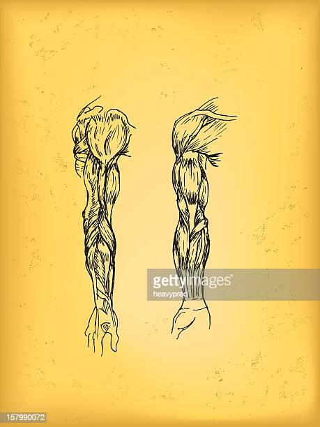 Human arm anatomy drawing