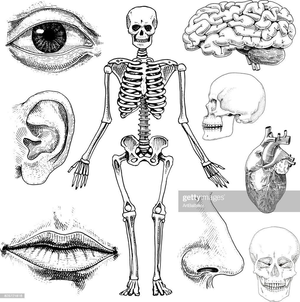 Humanbiologie Anatomie Abbildung Gravierte Handgezeichnete Im Alten ...