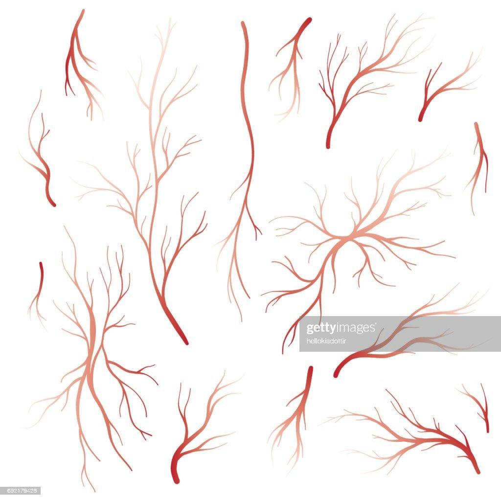 Menschlichem Blut Venen Und Arterien Vektorsatz Vektorgrafik   Getty ...