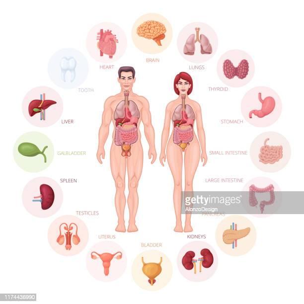 human body anatomy and organs diagram. - human body part stock illustrations