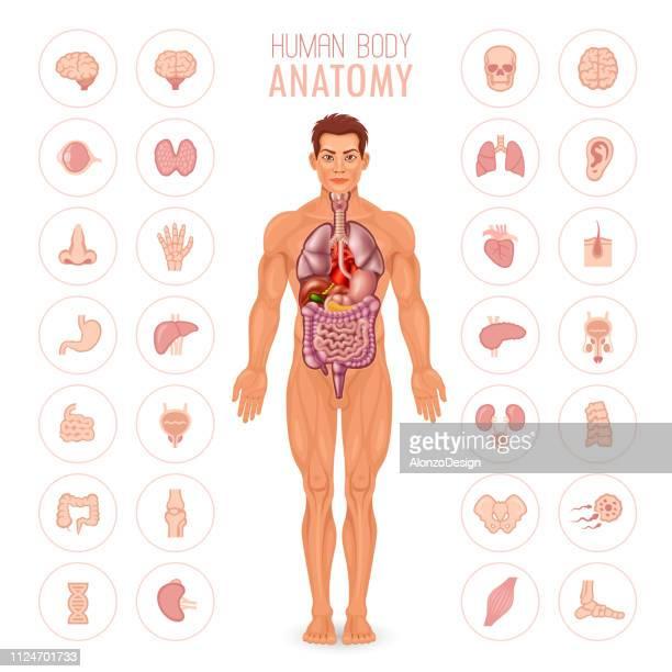 human body anatomy - male - pancreas stock illustrations, clip art, cartoons, & icons