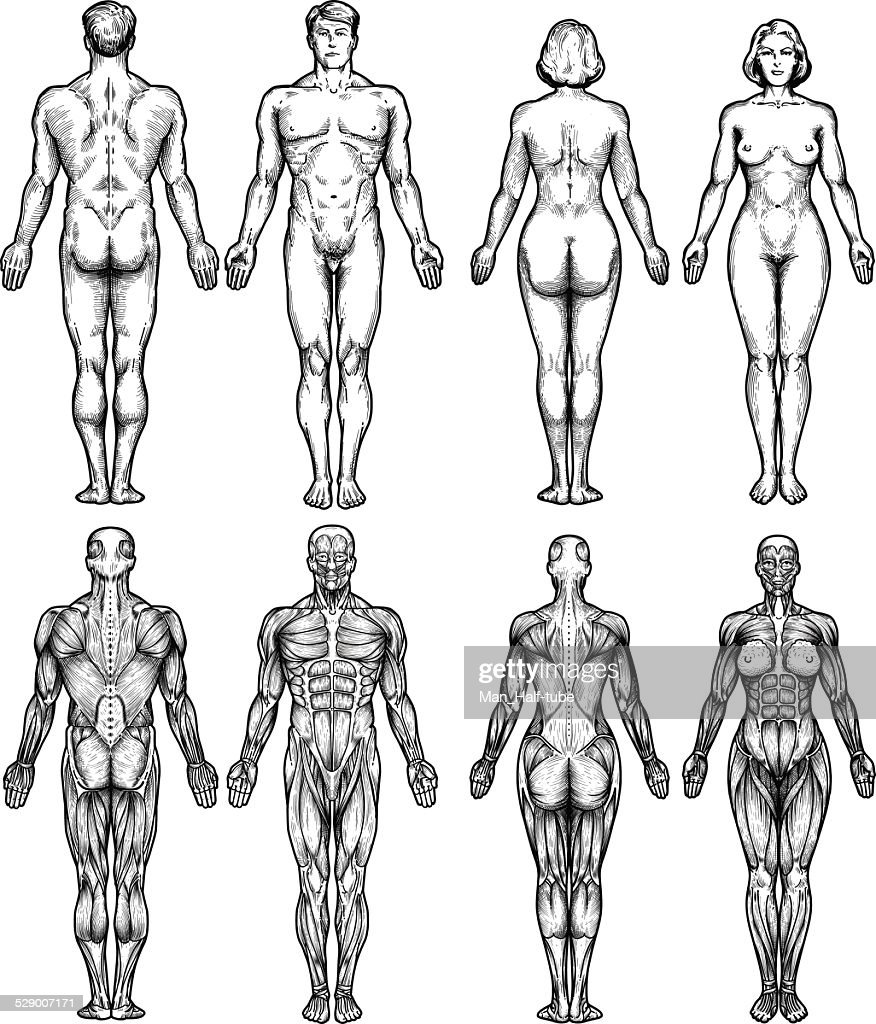 Human body anatomy vector art getty images human body anatomy vector art ccuart Images
