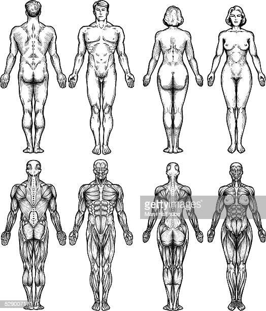 human body anatomy - tissue anatomy stock illustrations, clip art, cartoons, & icons